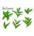 tea leaves sketch green tea leaf for package vector image vector image