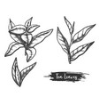 hand drawn ceylon or indian tea leaves twig stem vector image vector image