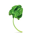 Fresh green leaf spinach vector image vector image
