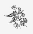 hops plant with leaves in vintage style engraved vector image vector image