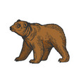 bear goes on four legs color sketch engraving vector image vector image
