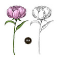 beautiful peony colored and black and white hand vector image vector image