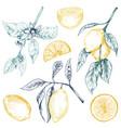 collection hand drawn fresh lemon tree vector image vector image