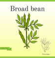 broad beans or fava beans series of vegetables vector image vector image