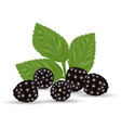 composition of ripe blackberrie and leaves vector image