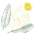 banana leaves and bananas hand drawn harvest vector image