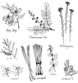 hand drawn medical and aromatic plants vector image