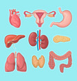 human internal organs heart female reproductive vector image