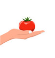 hand holding fresh and organic vegetable tomato vector image vector image