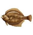 Psettodes Erumei Flounder vector image