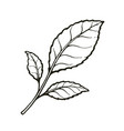 three leaves tea or mint hand drawn sketch vector image vector image