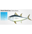 Atlantic bluefin tuna vector image