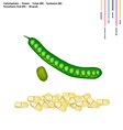 Fresh Twisted Cluster Bean with Vitamin B9 B6 vector image vector image