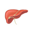 structure of human liver organ of digestion vector image