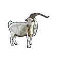 ram in white background vector image