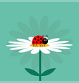 ladybug ladybird insect white daisy chamomile vector image vector image
