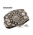 preserved ammonite specimen fragment fossils vector image vector image