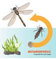 dragonfly life cycle metamorphosis vector image vector image