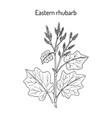 eastern rhubarb rheum officinale medicinal plant vector image vector image