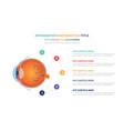 human eye anatomy infographic template concept vector image