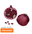 color pomegranate vector image vector image