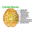 cranial nerves vector image