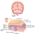 Human brain layer anatomy vector image vector image
