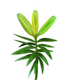 colorful naturalistic unblown bud lily flower vector image vector image