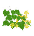 branch tilia-linden tvig with leaves with flowers vector image