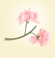 Sakura two flowers Spring background vector image