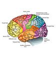 areas brain vector image vector image