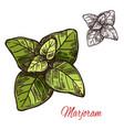marjoram seasoning plant sketch plant icon vector image vector image