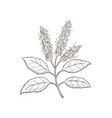 hand-drawn patchouli plant vector image