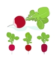Radish vegetable with leaves on a white background vector image vector image