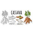 cassava manioc plants with leaves and tuber vector image vector image