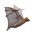 hand drawn flying fox isolated on white background vector image vector image