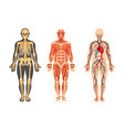 structure human skeleton muscular system