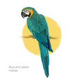 blue-and-yellow macaw hand drawn painting vector image