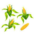maize corn cobs isolated vector image
