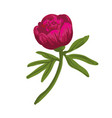 the single flowering dark pink peony vector image vector image