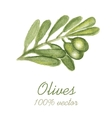 Watercolor painted olive tree branch vector image