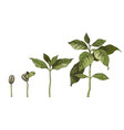 hand drawn coffee seedlings 4 stages growing vector image