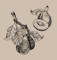 set of garden fruits engraving style isolated on vector image