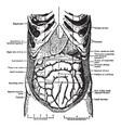 abdomen vintage vector image vector image