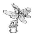 hand drawing of banana tree in large pot vector image vector image