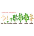 soybean plant growth stages infographic elements vector image