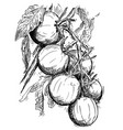 hand drawing of ripe tomatoes growing on branch vector image vector image