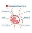 pregnancy anatomy medical vector image