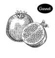 hand drawn sketch style fresh garnet vector image vector image