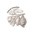 symbol tropical cacao tree chocolate bean fruit vector image